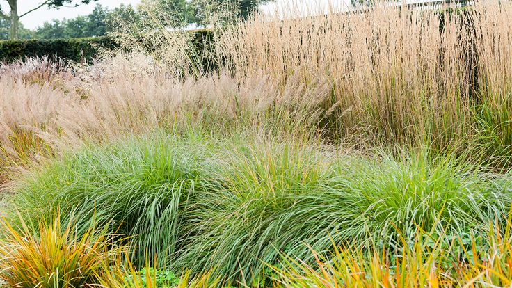 17 best images about gardening ornamental grasses on for Large grasses for gardens
