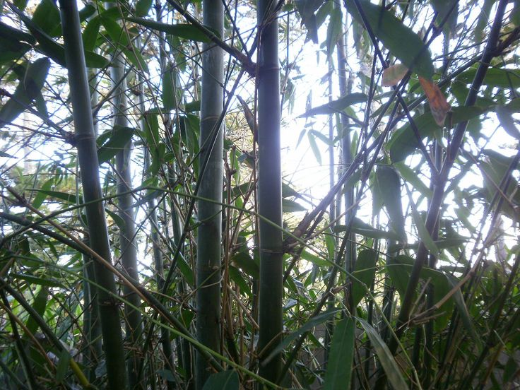 Scourge of the lower terrace garden. The giant bamboo. I decided to us it around the garden for edging. Where it touched the ground it rotted.