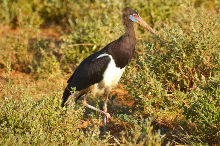 Abdims stork, Tsavo East, Kenya #AbdimsStork #Abdimstork #TsavoEast #Kenya #Safari #HenryRasmussen