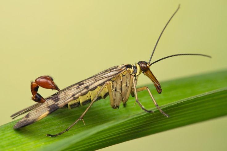 Mosca-Escorpião (Mecóptero) - como se já não bastasse ser um escorpião, essa espécie ainda é capaz de voar como uma mosca! O alívio é que, apesar de levar as características de escorpião, esse inseto não tem ferrão, tornando-se menos assustador do que realmente parece.  Mesmo que você se assuste com aquela cauda, na verdade, ela é o órgão genital do inseto, sendo usada exclusivamente para a reprodução. Ainda assim, não seria muito agradável ver um desses voando em sua direção, não é mesmo?