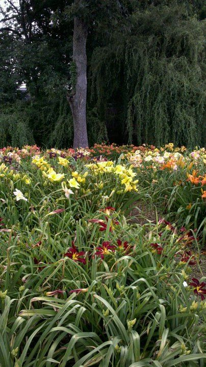 42 Best Images About Daylilies On Pinterest