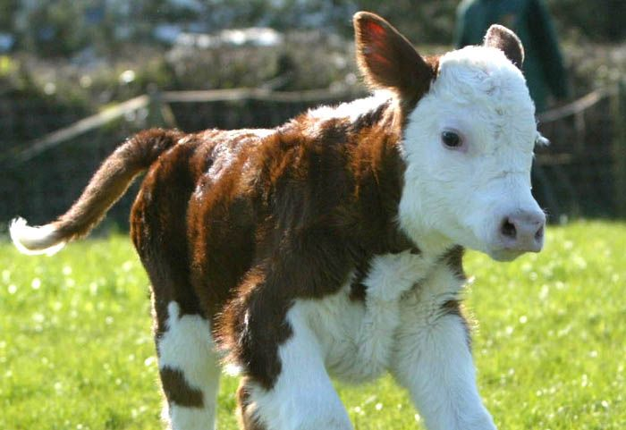 Herefords are my favorite breed of cow almost only because their calves are so gosh darn cute
