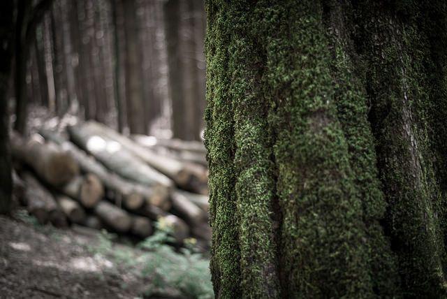 il muschio nel bosco di Campigna