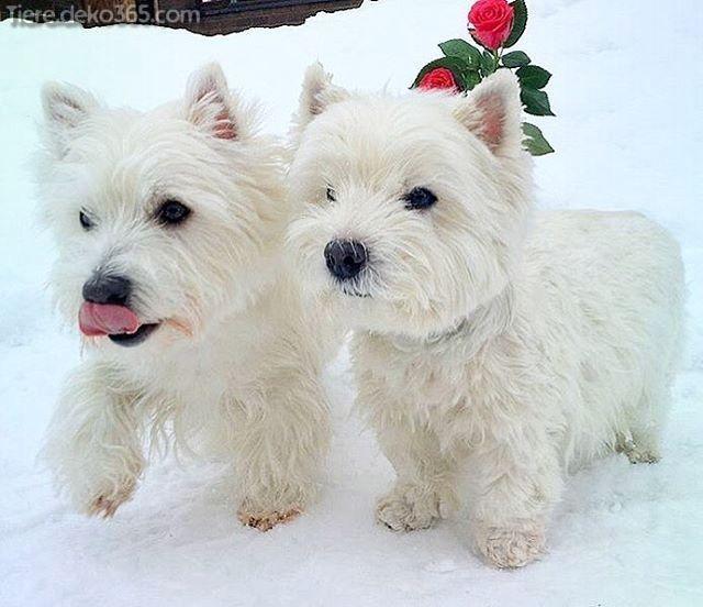 Besten Fotos Von Westie Hunden Westie Dogs Westie Puppies Dog