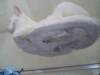This is where cats' feet go when they settle into sphinx pose... Am finding this irrationally funny.Funny Cat, Hover Cat, Funny Stuff, Funny Animal, So Funny, Kitty, Hovercat, White Cat, Glasses Tables