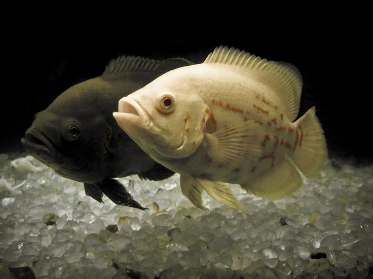 A pair of young Oscar Cichlids (Astronotus ocellatus)