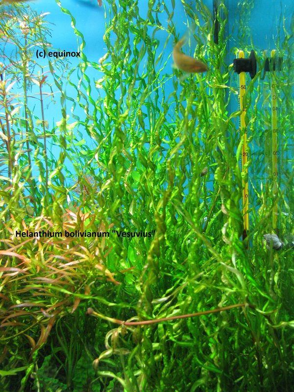 (=)Киев. Украина. Большой выбор аквариумных растений. Недорого. Аукционы - Аквафорум - форум аквариумистов и террариумистов