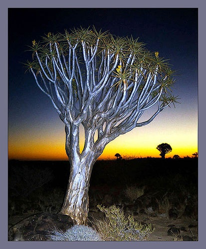 A Kokerboom tree after sunset. This photo was taken on April 8, 2005 in Hardap, NA.