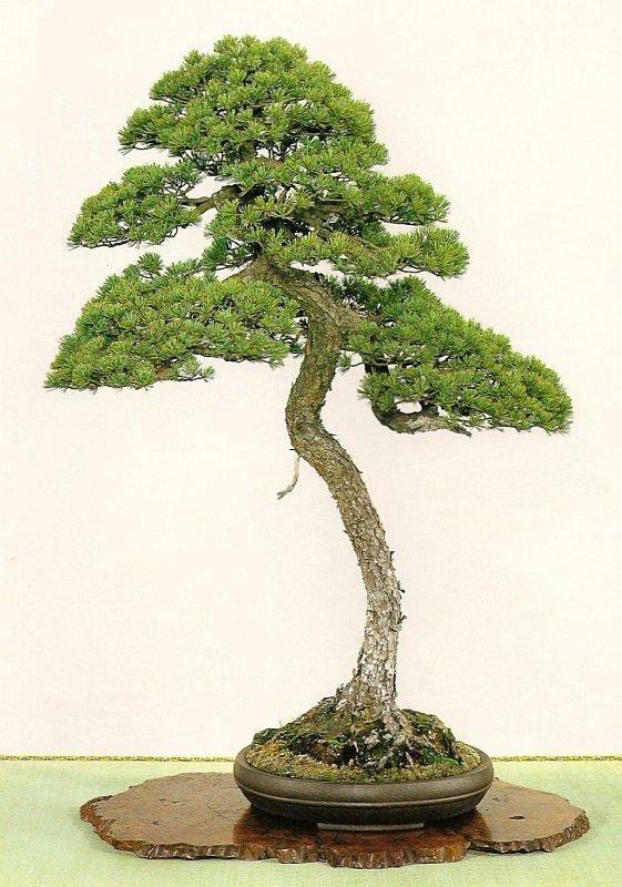 17 best images about literati bonsai on pinterest trees for Literati bonsai gallery