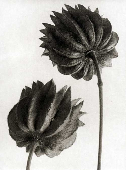 "Seed capsule of the annual, Abutilon,  by German photographer & artist Karl Blossfeldt (1864-1932) published in his ""Urformen der Kunst"" (1929). via Picturing Plants"