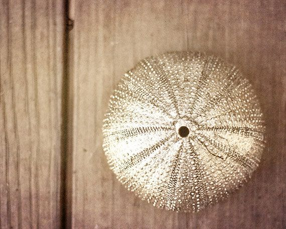 Still Life Photograph Sea Urchin photography affordable by briole