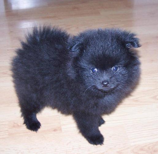 The 25+ best ideas about Black Pomeranian on Pinterest ...