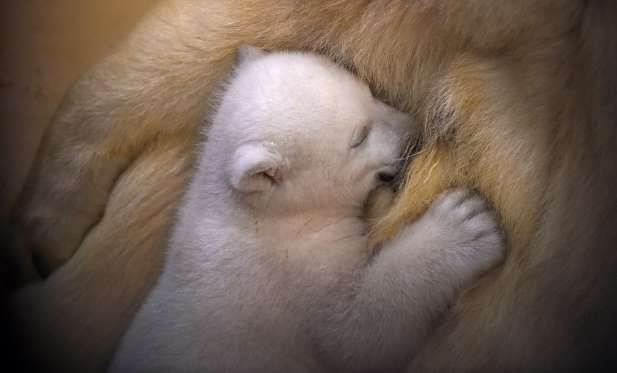 A polar bear cub snuggles up against her mother Valeska at Bremen's Zoo by the Sea, Germany, on March 9.