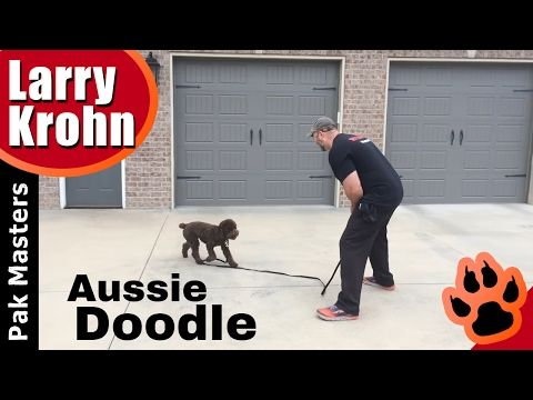 First E Collar Remote Collar Conditioning Session With Aussie