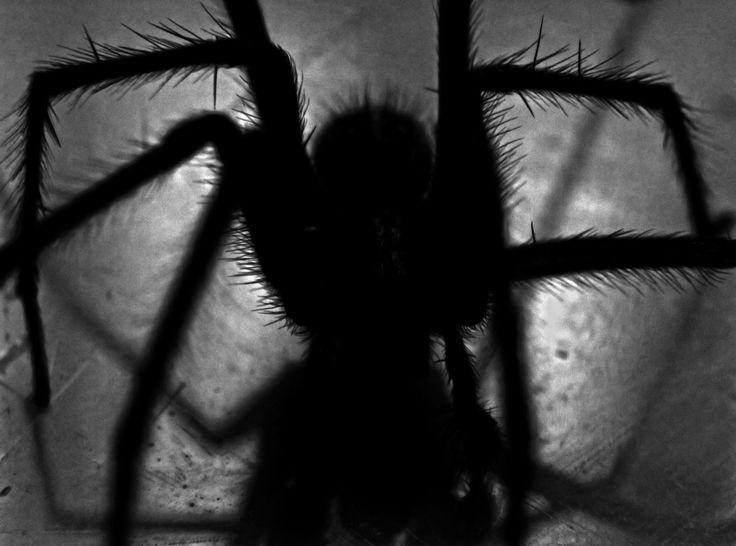 Traumsymbol: Spinne.  Spinnen lösen bei vielen Menschen Angst und Ekel aus – und ihre langen Beine, ihr Laufstil sowie ihre nur sehr bedingt hübschen Körper und Köpfe tragen nicht gerade dazu bei, dass man ihnen ernsthaft näher kommen möchte. Mehr unter http://www.astrozeit24.de/traumdeutung/spinne/