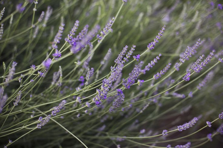 Whether in the garden or containers, lavender is a fabulous plant to have on hand. But what do you do when it starts to fail? Click this article to learn more about lavender plant care and how to deal with drooping lavender plants.