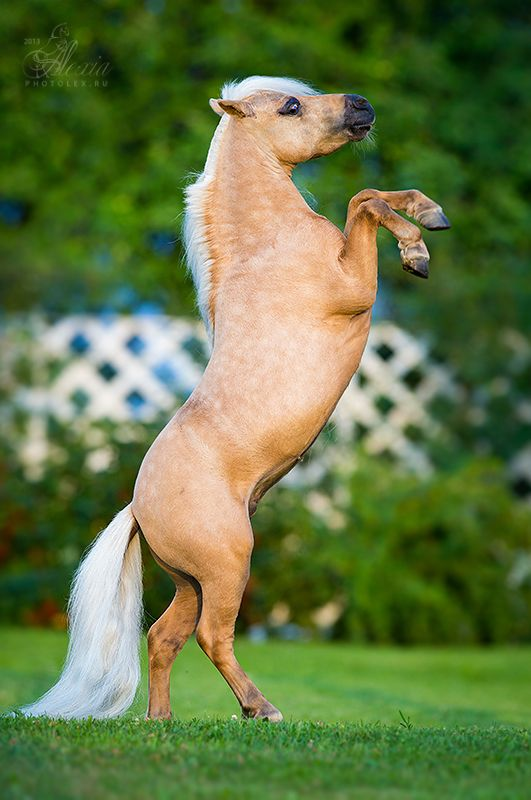 American Miniature Horse stallion Shoshone