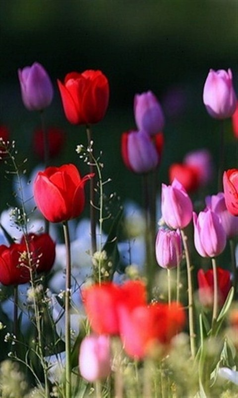 Red, Pink, And Purple Tulips