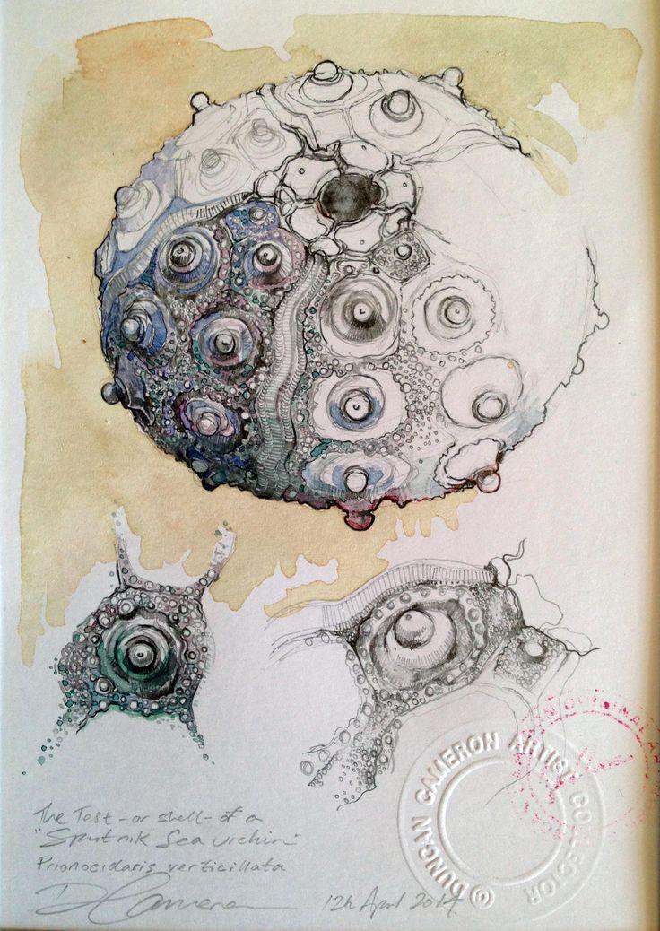 Duncan Cameron. Sputnik sea urchin drawing. www.duncancameron.org