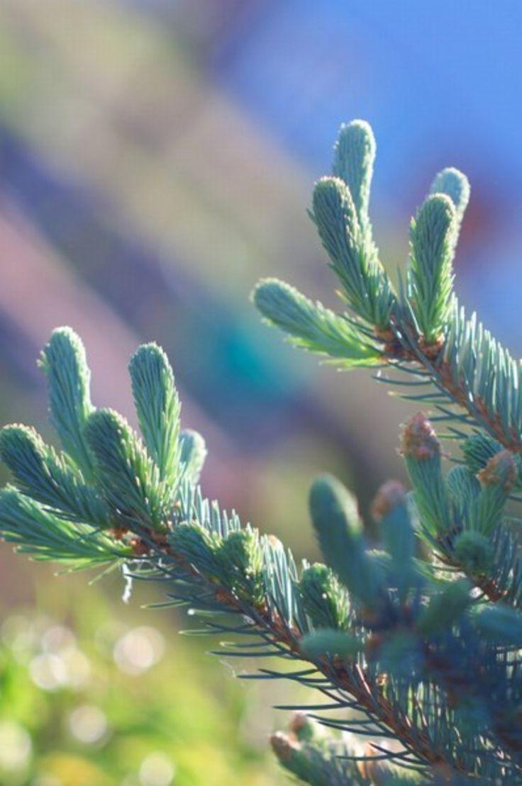 Syrop sosnowy - przepis na skuteczny syrop z sosny