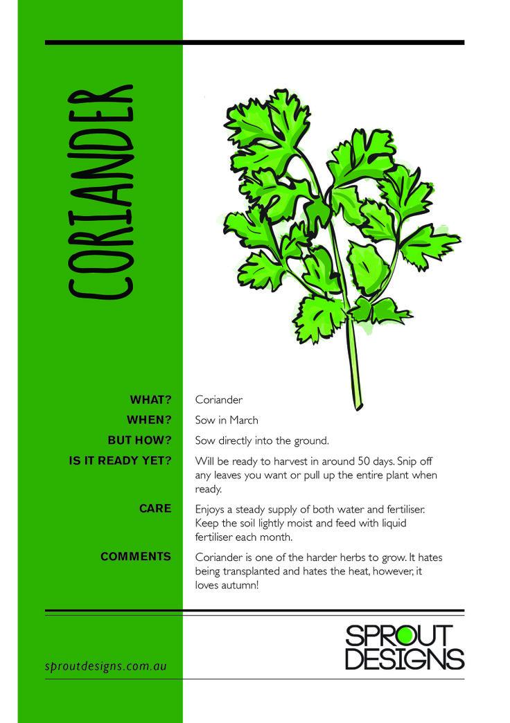 How to grow Coriander!