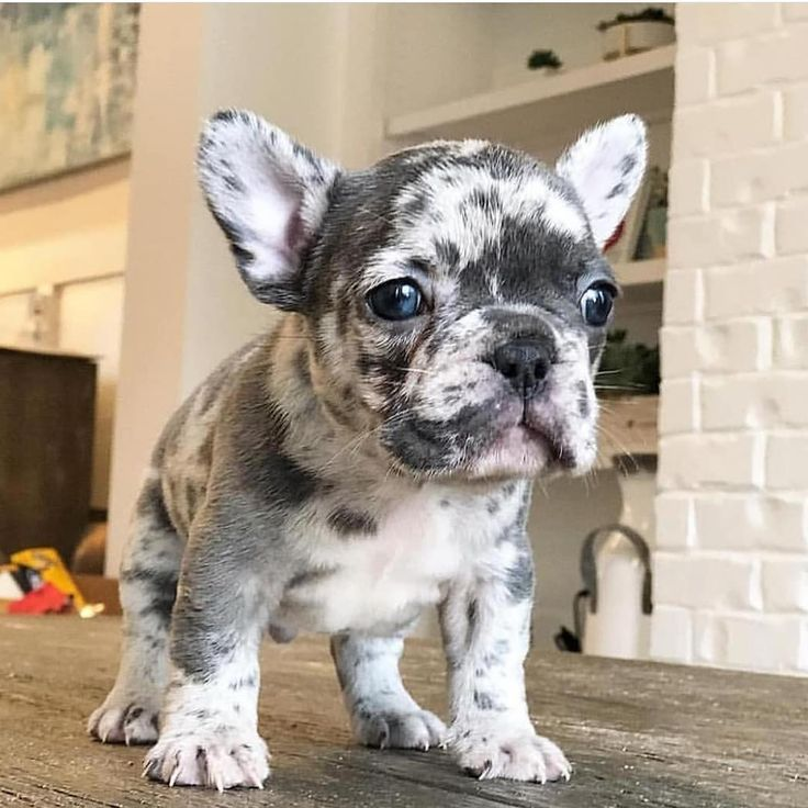 French Bulldogs Puppy Pet Photography In 2020 French Bulldog Puppies Cute French Bulldog Bulldog Puppies