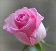 תוצאת תמונה עבור rosas