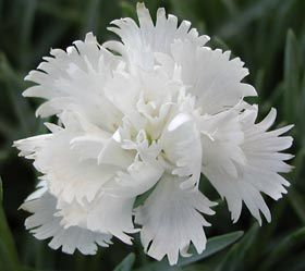 Dianthus plumarius 'Maischnee' - Feder-Nelke