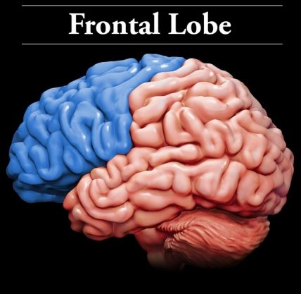 Frontal Lobes: They are prone to injury because they sit just inside the front of the skull and near rough bony ridges.  These two lobes are involved in: planning & organizing; problem solving & decision making; memory & attention; and controlling behavior, emotions & impulses. The left frontal lobe plays a large role in speech and language. Injury to the frontal lobes may affect: emotions & impulses; language memory; and social and sexual behavior.