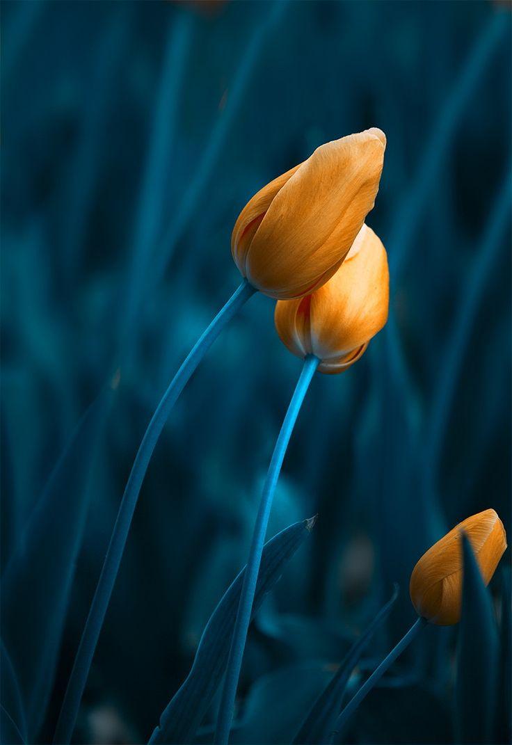 '<3'   Tulip by L.B.J  on 500px