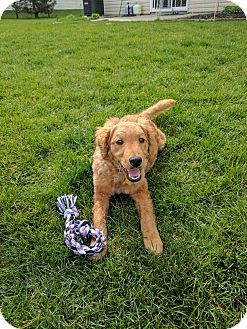 antwerp, OH - Goldendoodle Mix. Meet Please help Emmy, a puppy for adoption. http://www.adoptapet.com/pet/17956646-antwerp-ohio-goldendoodle-mix