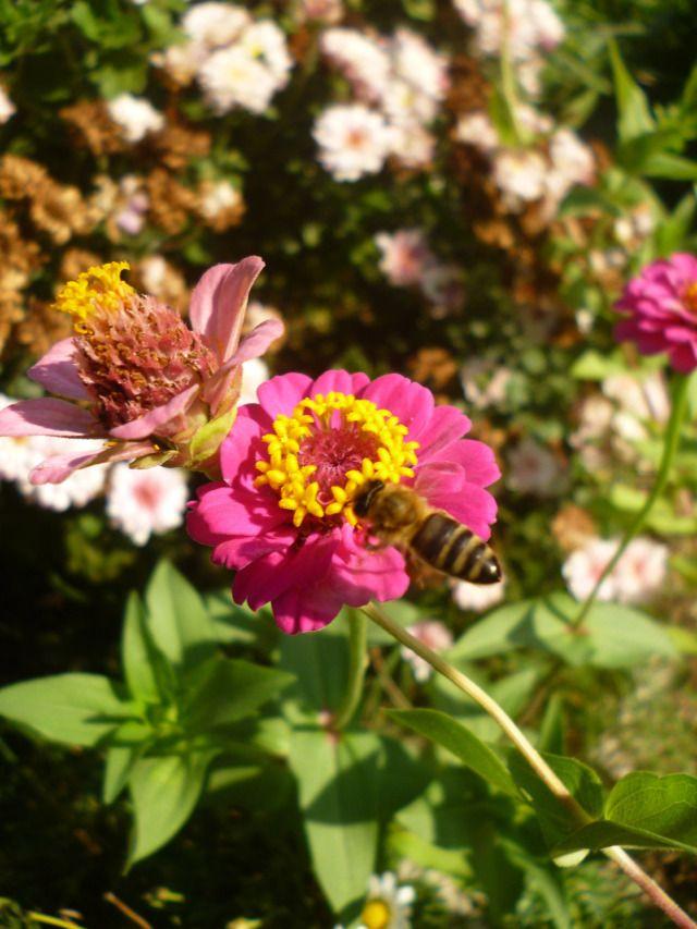 Τα άνθη της ζίννιας προσελκύουν πάρα πολλές πεταλούδες αλλά και μέλισσες. Τα φωτεινά χρώματα τους, τους τραβούν την προσοχή. Παρέχουν γύρη και νέκταρ.