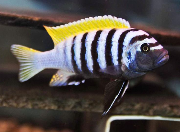 Cynotilapia Zebroides Jalo Reef Malawi Cichlids