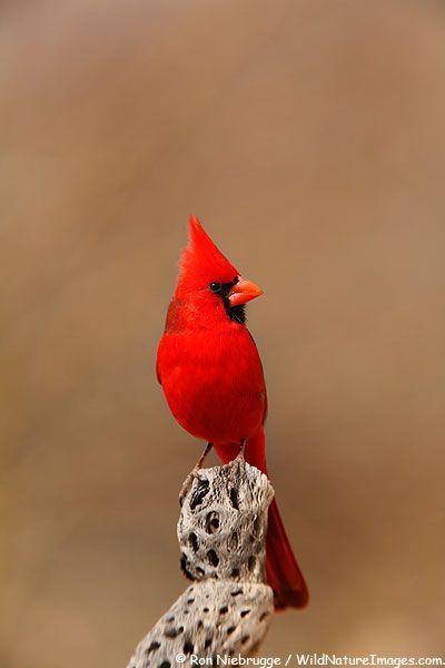 Northern Cardinal Photos