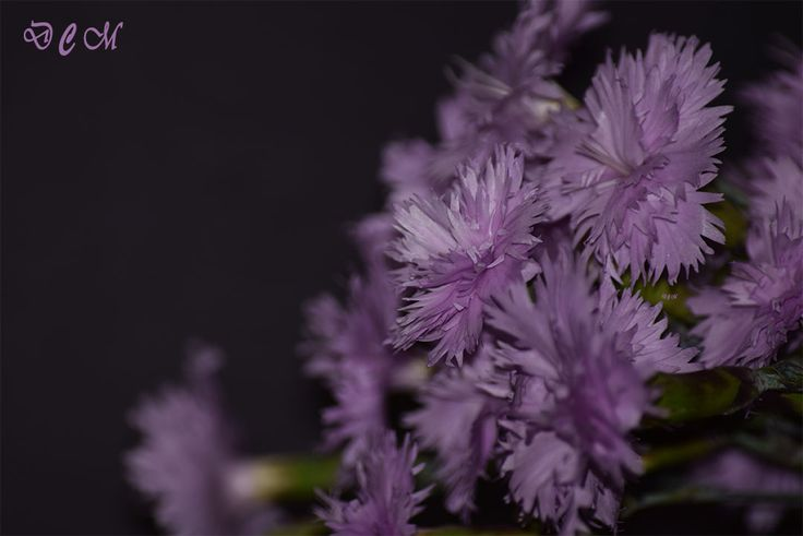 Parfum în note liliachii