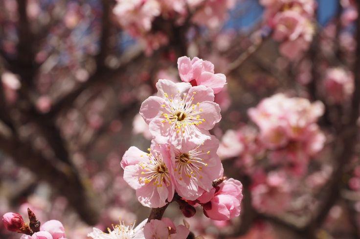 Chinese Cherry Blossom