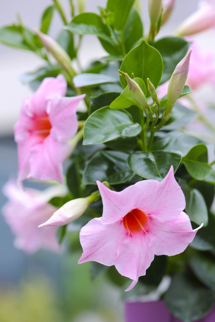 8 best sauge arbustes images on pinterest gardens names and exotic plants. Black Bedroom Furniture Sets. Home Design Ideas