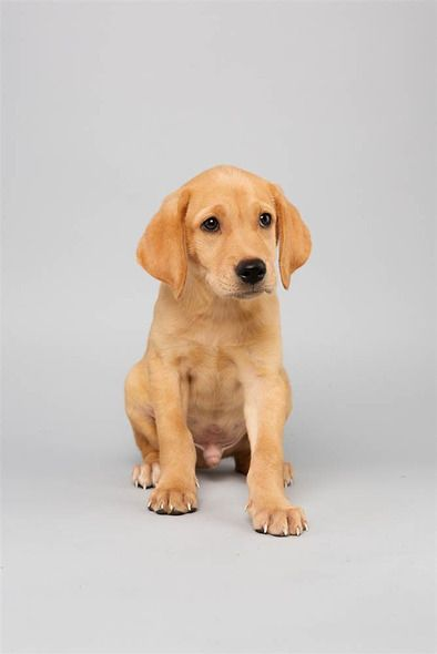 Abdiel (13 weeks) Labrador Retriever/ Terrier Mix feels Labs get a bad rap about shedding.