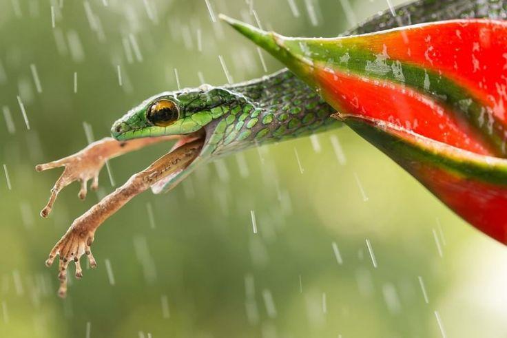 """(Natura) - Foto di Nicolas Reusens: ''Durante il mio ultimo viaggio in Costa Rica sono riuscito a fotografare questo bellissimo serpente nella peggiore delle situazioni possibili (per la rana, ovviamente)"""""""