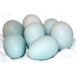 Cream Legbars are friendly, easily handled, good layers, auto-sexing, and one of the most highly sought after--and rarest--breeds in this country. They lay beautiful blue eggs. Hatching Eggs (Ships free!) from My Pet Chicken.