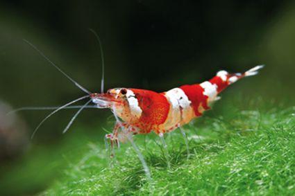 """20 Caridina cf. Cantonensis """"Crystal Red"""" - 3cm - Fond - 20°/26° - Ph 6 à 7 - GH 3 à 10 - KH<4"""