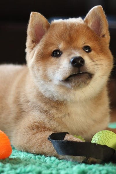 Crate Train A Shiba Inu Puppy Shibainu Youngdog Cratetrain Cratetraining