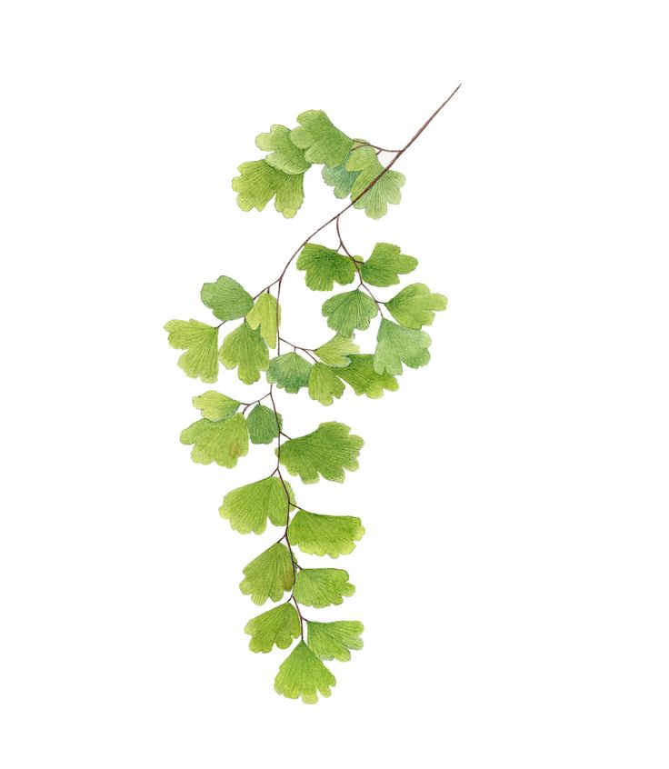 Image result for maidenhair fern images