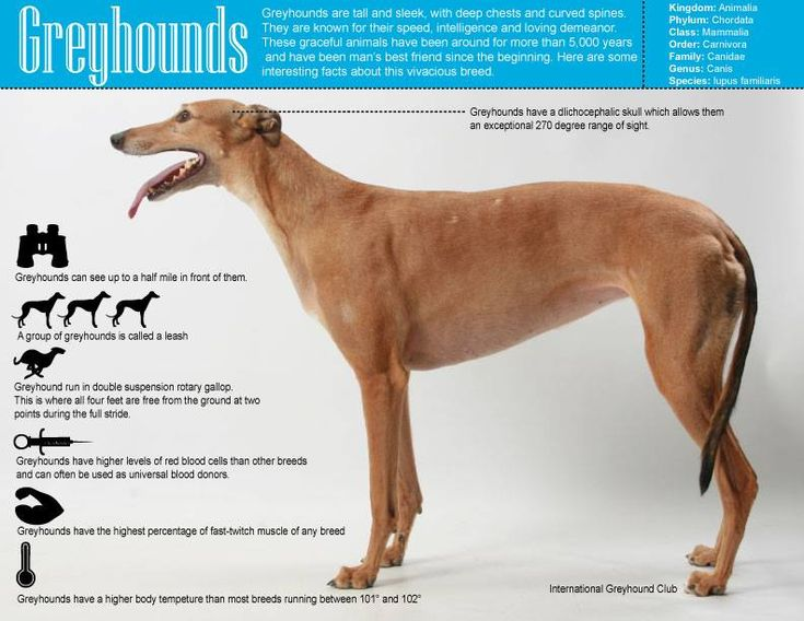 17 best images about greyhounds  on pinterest