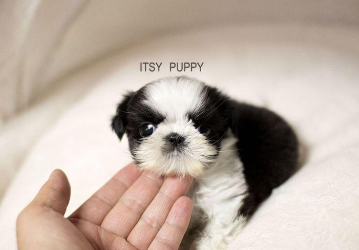 Shih Tzu. Looks like Moo when she was a baby.