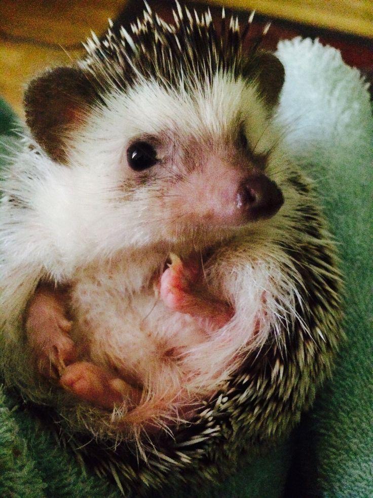 my buffy, cutie pie baby hedgehog <3
