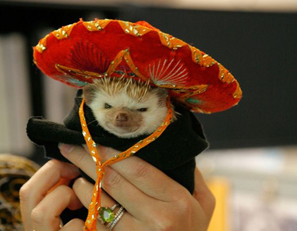 just a hedgehog wearing a sombrero.