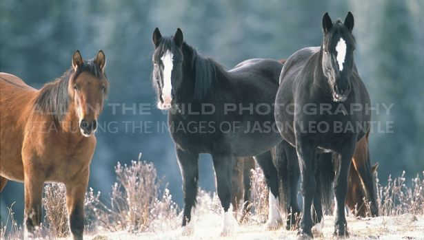 WILD ONES Alberta Foothills  I felt very fortunate to find this group of wild horses near Sundre, Alberta. They were part of a herd of about twenty individuals. It was fall and the horses were grazing in the early morning. The herd was obviously very tightly knit and I enjoyed watching their interactions as I photographed them.