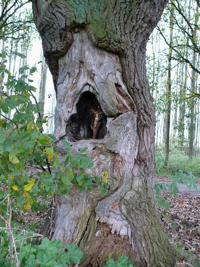 Cultureel Brabant CuBra Bomen Eindhoven De 'Heilige'-eik van Esp