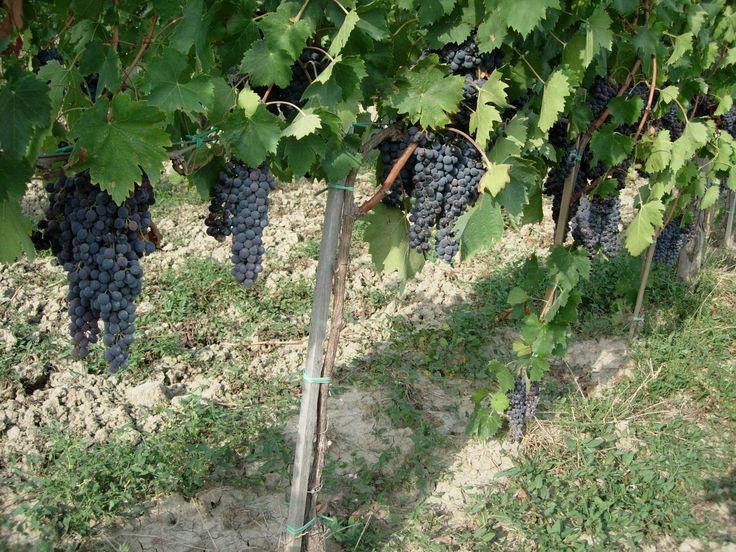grappoli di uva nera